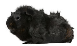 Black guinea pig, 3 years old Stock Images