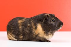 Black guinea pig Stock Photography