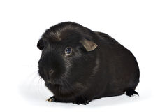 Black guinea pig Royalty Free Stock Photo