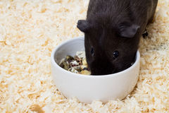Black guinea pig eating food Royalty Free Stock Image