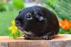 Black Guinea Pig on the Plank Royalty Free Stock Photos
