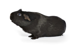 Black guinea pig sniffing Royalty Free Stock Images