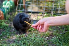 Black guiney pig eating from human hand Stock Images