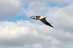 black gull headed Стоковое фото RF