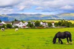 Black Gypsy horse aka Gypsy Vanner or Irish Cob grazes on pastur Royalty Free Stock Images