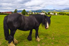 Black Gypsy horse aka Gypsy Vanner or Irish Cob grazes on pastur Stock Photo