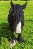 Black Gypsy horse aka Gypsy Vanner or Irish Cob grazes on pastur Royalty Free Stock Photos