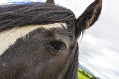 Black Gypsy horse aka Gypsy Vanner or Irish Cob poses close to t Stock Images