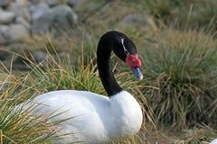 black hånglade swanen royaltyfri bild