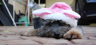Black hair dog wearing pink bunny ears Royalty Free Stock Photos