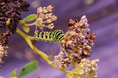 Swallowtail caterpillar on a branch with pink flowers royalty free stock photography
