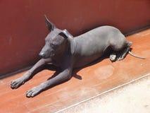 Black hairless peruvian dog lying by a wall Stock Image