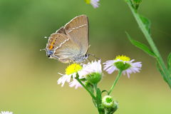 Black Hairstreak butterfly Royalty Free Stock Photography