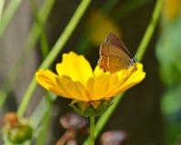 Black hairstreak butterfly on flower