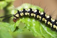 Black Hairy Caterpillar. Black Caterpillar take dinner for their next life Stock Image