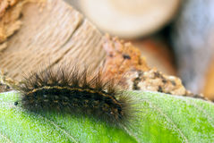 Black Hairy Caterpillar Stock Images