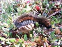 Black  hairy caterpillar , Lithuania Stock Photography
