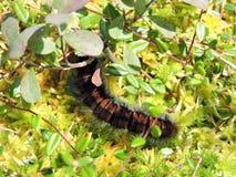 Black  hairy caterpillar Royalty Free Stock Photo