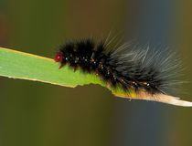 Black Hairy Caterpillar with Red Head Royalty Free Stock Image