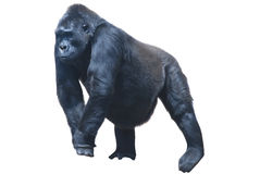 Black hairy gorilla Stock Photos