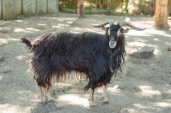 Black hairy horned goat at the zoo Stock Images