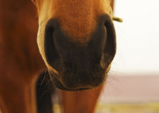 Free Black Hairy Nose Of The Horse Royalty Free Stock Photography - 66852617