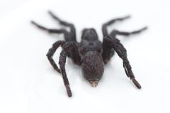 Black hairy tarantula. Rear shot Royalty Free Stock Images