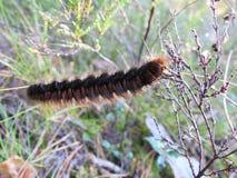 Black  hairy caterpillar , Lithuania Stock Image
