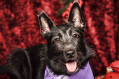 Black half-breed terrier Stock Images