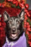 Black half-breed terrier Royalty Free Stock Image
