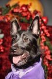 Black half-breed terrier Stock Image