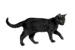 Black Halloween Cat. Black cat with yellow eyes walking on white Stock Photography