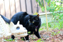 Black Halloween cat. Black house cat in focus standing behind and looking at faded out of focus live-size cat skeleton. patio decoration for the home. Halloween stock image