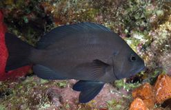 Black Hamlet. Hypoplectrus nigricans, picture taken south east Florida royalty free stock photos