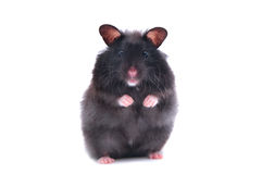 Black hamster Stock Images