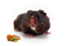 Black hamster Stock Image