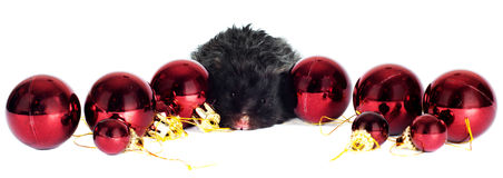 Black hamster with christmas decoration Royalty Free Stock Images