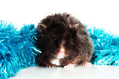 Black hamster with christmas decoration Royalty Free Stock Photography