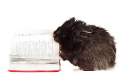 Black hamster reading a book Stock Photos