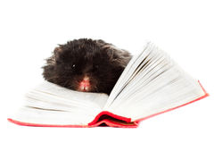 Black hamster reading a book Stock Photography