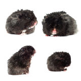 Black hamster set isolated Royalty Free Stock Photo