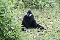 Black handed Gibbon Royalty Free Stock Images