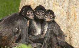 Black-handed spider monkey Royalty Free Stock Image