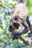Black handed spider monkey - Ateles geoffroyi Royalty Free Stock Image
