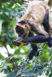 Black handed spider monkey - Ateles geoffroyi stock images