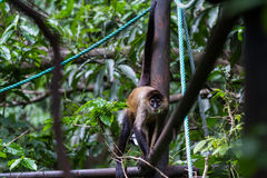 Black handed spider monkey - Ateles geoffroyi Stock Photography