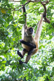 Black handed spider monkey - Ateles geoffroyi Royalty Free Stock Photos