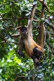 Black handed spider monkey - Ateles geoffroyi Royalty Free Stock Photo