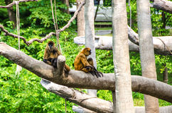Black Handed Spider Monkey Royalty Free Stock Photography