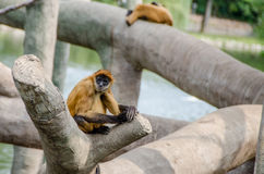 Black Handed Spider Monkey Royalty Free Stock Photos